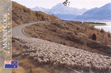 Mustering sheep by Lake Pukaki with Mount Cook in the background